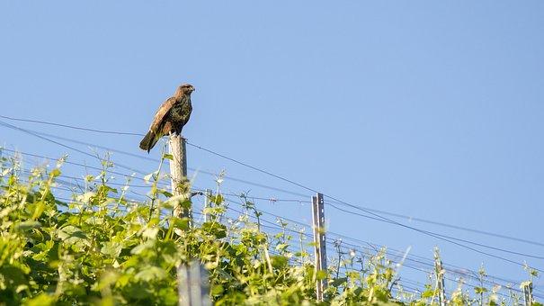 Eagle, Bird, Grape, Hill