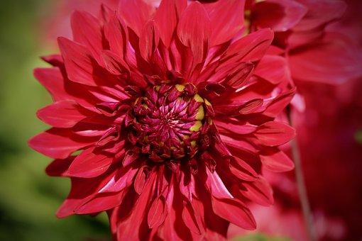 Dahlia, Dahlia Flower, Petals, Red, Blossom, Bloom