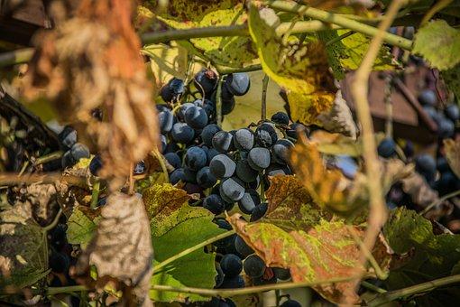 Grape, Wine, The Grapes, Grapevine, Viticulture