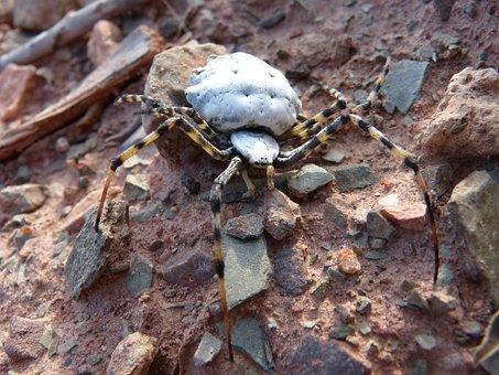 Spider, Spider Tiger, Detail, Arachnid, Argiope Lobata