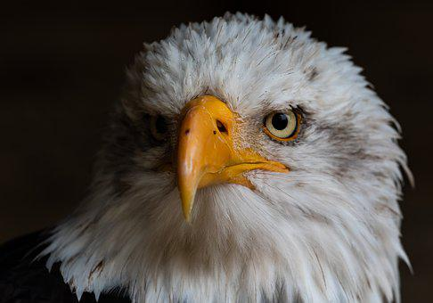 Bald Eagle, Raptor, Bird Of Prey, Yellow Eye, Hawk Eye