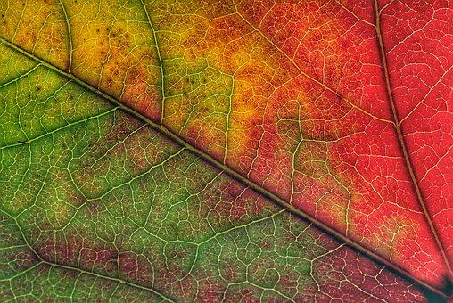 Fall Foliage, Color, Leaf Veins, Nature, Trees, Leaves