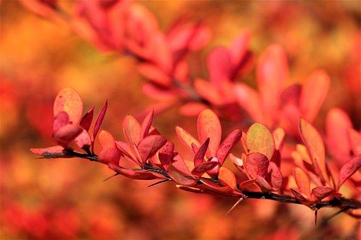 Bush, Colors Of Autumn, Barberry, Red, Orange