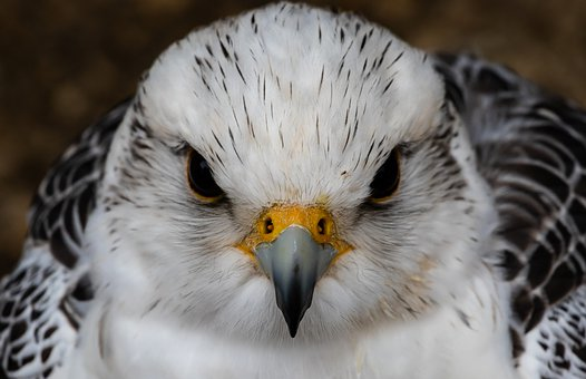 Saker Falcon, White Falcon, Raptor, Black Eyes, Eyes