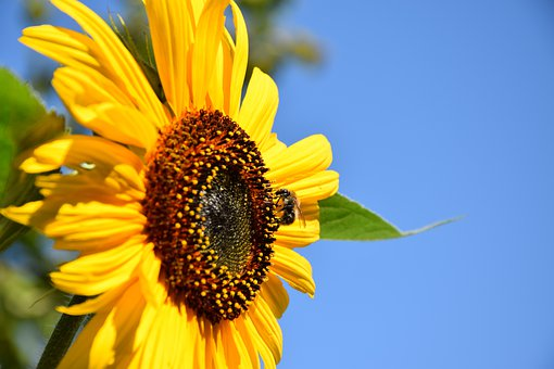 Sunflower, Honey Bee, Sprinkle, Pollination, Summer