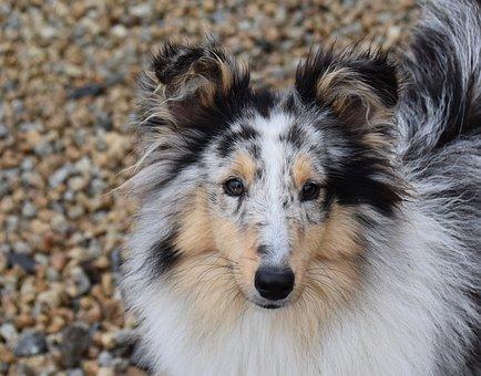 Dog, Bitch, Pup, Dog Shetland Sheepdog, Dog Portrait