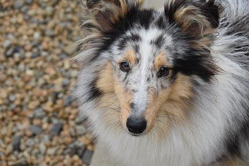 Dog, Bitch, Pup, Bitch Shetland Sheepdog, Dog Portrait