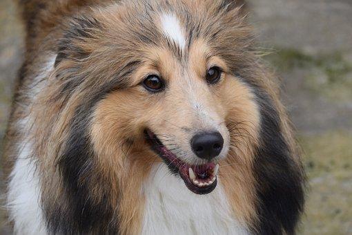 Dog, Bitch, Pup, Dog Shetland Sheepdog, Crocs White Dog