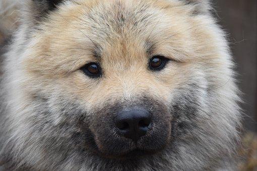 Dog, Dog Eurasier, Dog Portrait, Eyes Dog Hazel Colour