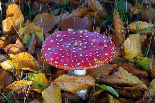 Mushrooms, Mushroom, Fly Agaric, Red, White