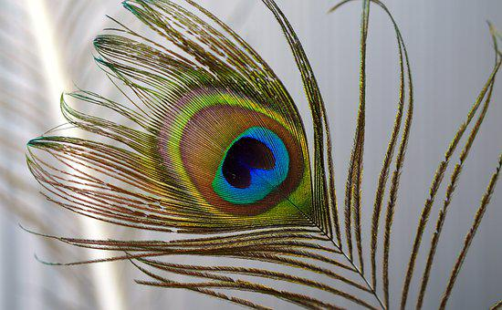 Peacock, Feather, Iridescent, Peacock Feathers, Nature