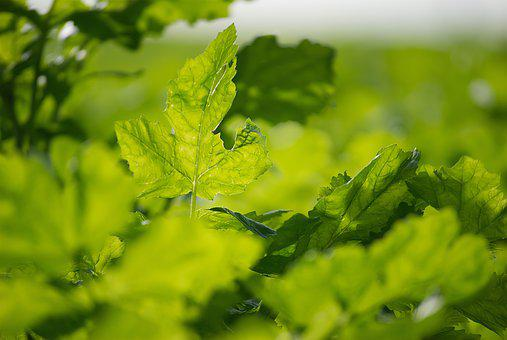 Green Stuff, Leaves, Plant, Green, Fresh, Sprout, Maple