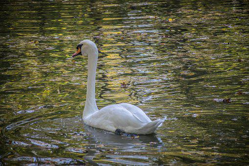 Swan, Surface, Water, Nature, White, Feather, Bird