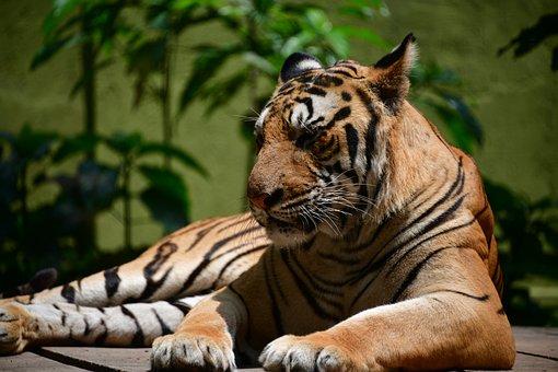 Tiger, Nature, Wildlife, Animal, Cat, Wild, Predator