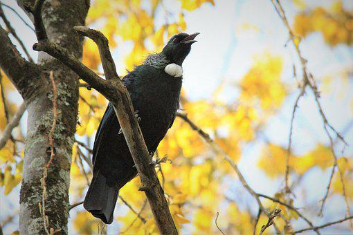Tui, Kowhai Tree, Nectar, Bird, Watching, Feathers