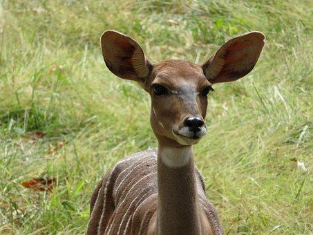 Antelope, Animals, Africa, Nature, Wildlife, Mammal
