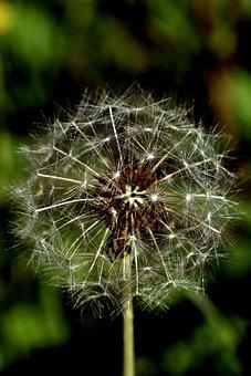 Achene, Flower, Asteraceae, Blossom, Spiny, Plant