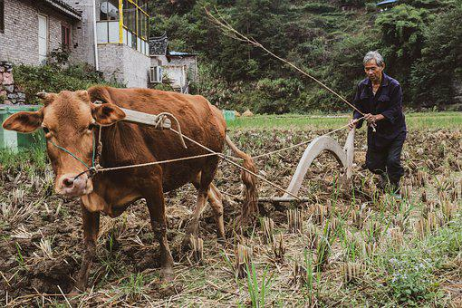 Cow, China, Plow, Field, Man, Brown Cow