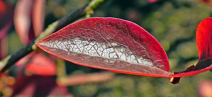 Leaf, Bilberry American, Autumn, Colored, Bush, Nature