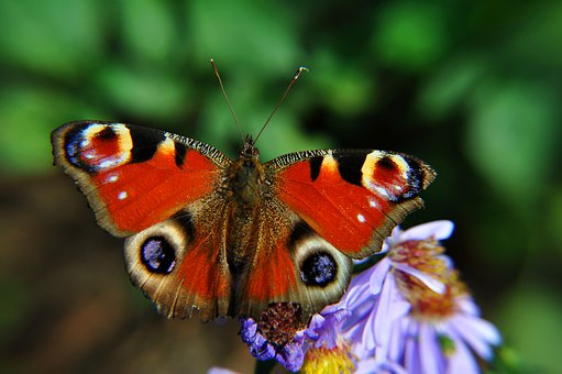 Butterfly, Nature, Insect, Flowers, Flower, Closeup