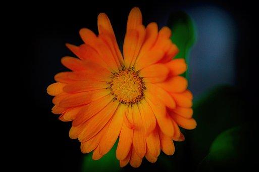 Flower, Marigold Medical, Plant, Garden, Macro