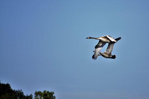 Geese, Mates, Flying, Together, Canadian Geese, Avian