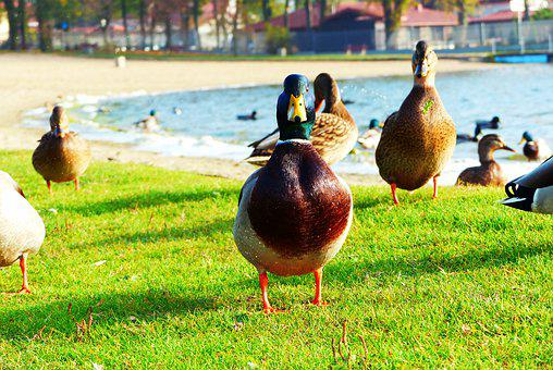 Donald Duck, Water Bird, Lawn, Lake, Beach, Portrait