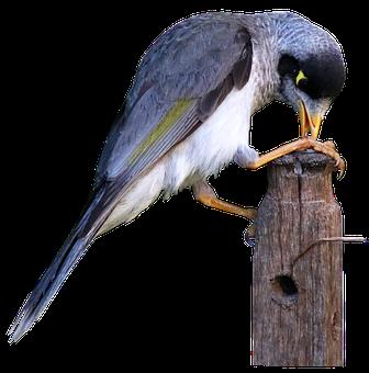Bird, Noisy Miner, Honey Eater, Sitting, Post