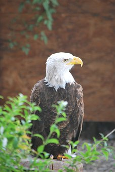 Eagle, Alsace, White Head, Raptor, Beak, Predator