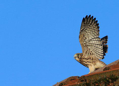 Kestrel, Young Animal, Young, Animal Portrait, Close Up