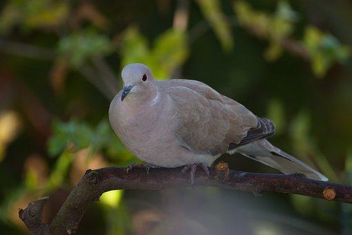 Balkan Dove, Bird, Nature, Birds, Garden, Animal