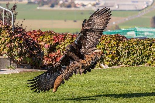 White Tailed Eagle, Landskron, Carinthia, Villach