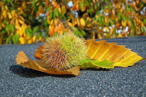 Chestnut, Edible, Barbed, In The Fall, Fruit, Maroni