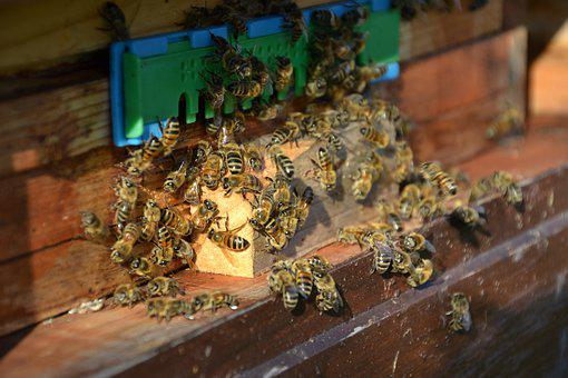 Bees, Honey Bees, Insect, Beehive, Flight Insect