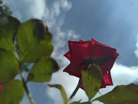 Nature, Rosa, Plant, Flower, Flowers, Romantic, Rose