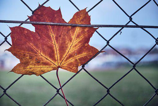 Autumn, Letting Go, Caught, Fence, Leaf, Freedom, Maple