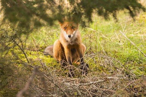 Fuchs, Wild Animal, Fur, Reddish, Predator