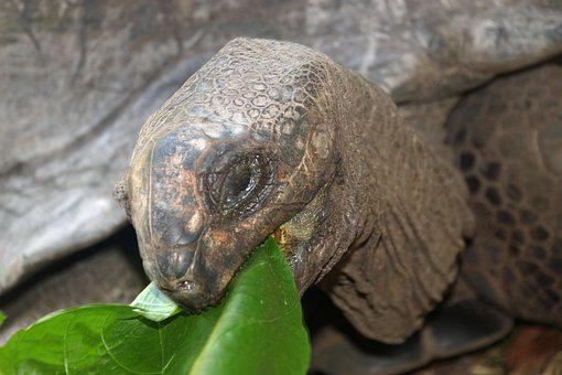 Turtle, Giant Tortoise, Seychelles, Curieuse, Hunger