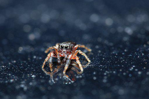 Jumping Spider, Spider, Macro, Jumping Spiders, Small