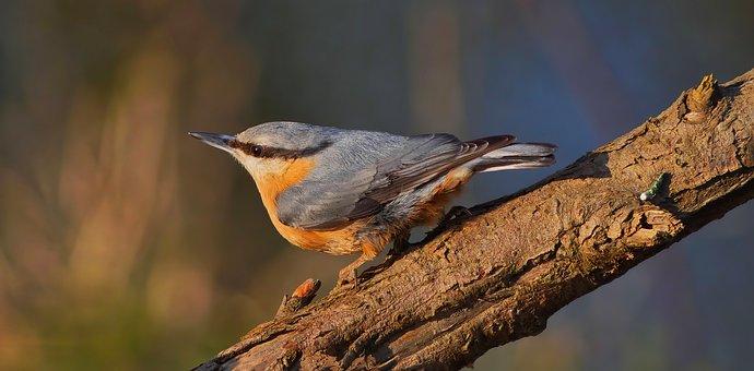 Bird, Eurasian Nuthatch, Nature, Forest, Branch, Fauna