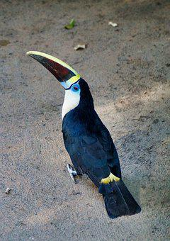 Toucan, Bird, Exotic, Colorful, Bill, Plumage, Feather