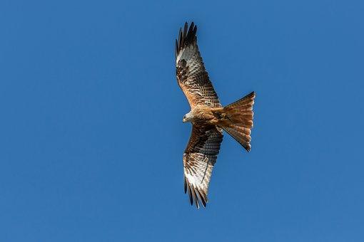 Red Kite, Milan, Raptor, Carinthia, Landskron, Sky