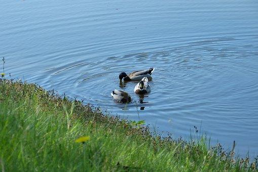 Water, Duck Feed, Channel, Spring, Ducks, Drake, Birds