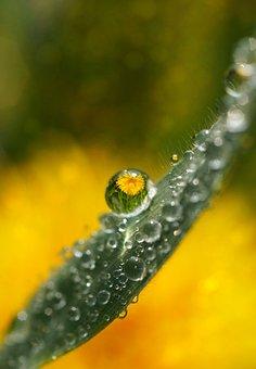 Dandelion, Wild Flower, Tender, Pointed Flower