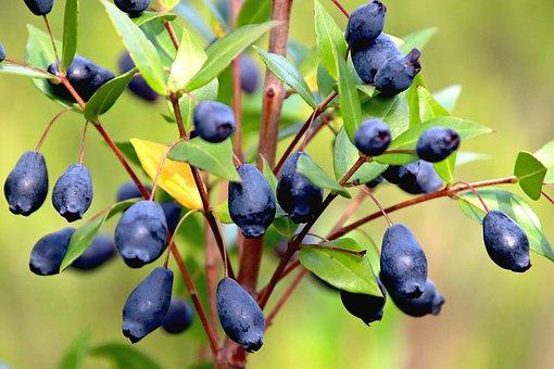 Fruit, Color Blue-black, Shrub, Plants, Garden