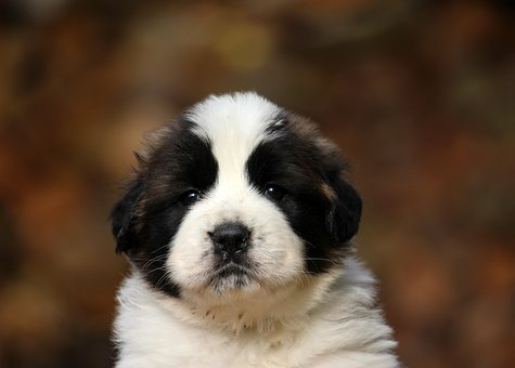 Puppy, Dog, Animal, Cute, Adorable, Doggie, Young