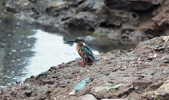 Kingfisher After Bath, Wild, Bird, Wildlife, Water