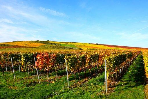 Vineyard, Vines, Wine, Autumn, Agriculture, Winegrowing