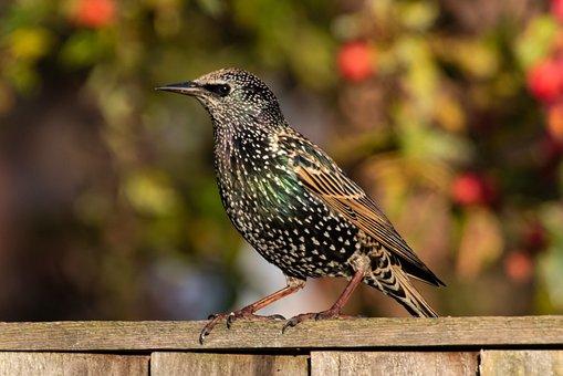 Juvenile Starling, Starling, Bird, Scavenger, Black