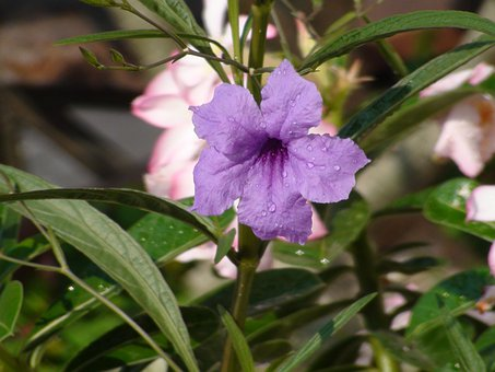 Flower, Mary Poppin, Nature, Purple, Bloom, Plant